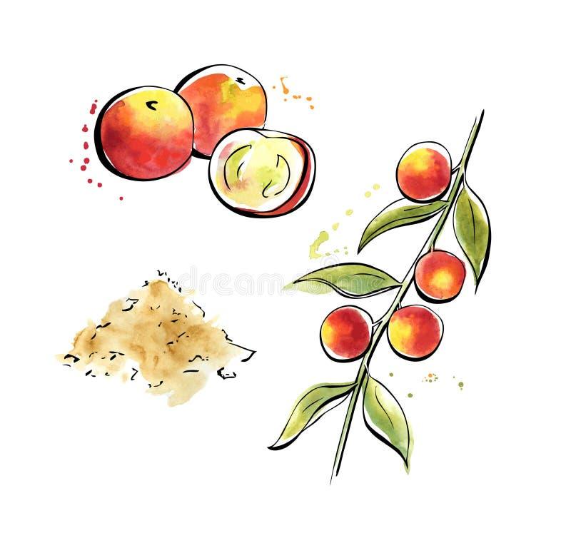 Akwareli ilustracja superfood Camu Camu ilustracji