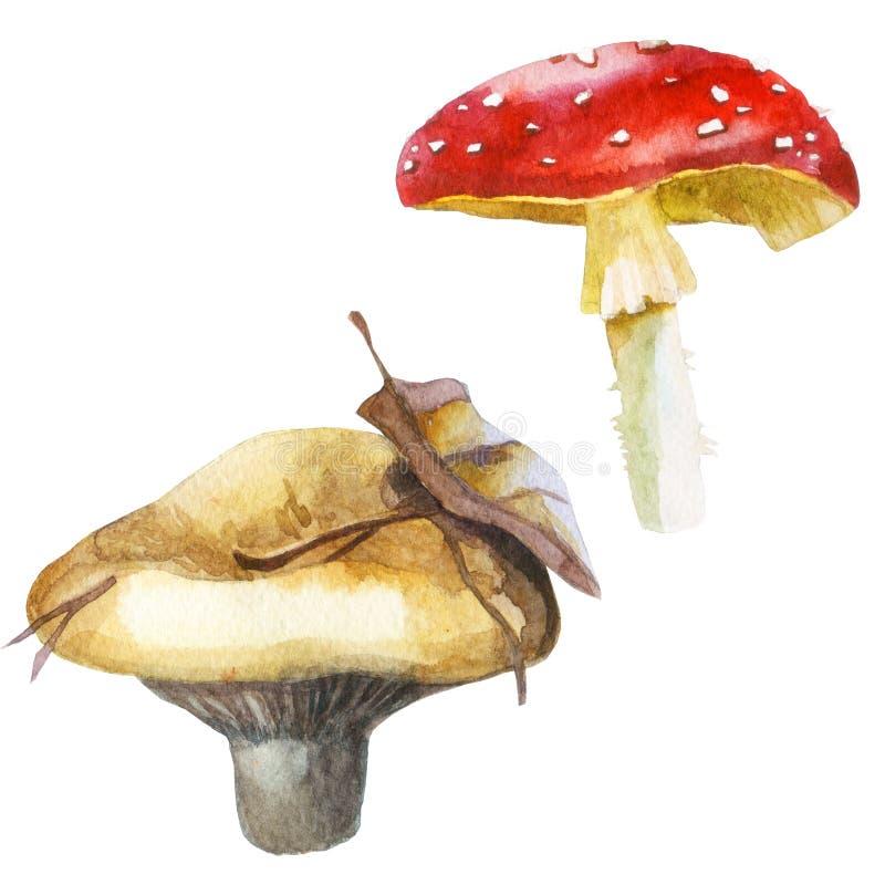 Akwareli ilustracja, wizerunek pieczarki, set Mleko pieczarki i komarnicy bedłka ilustracji