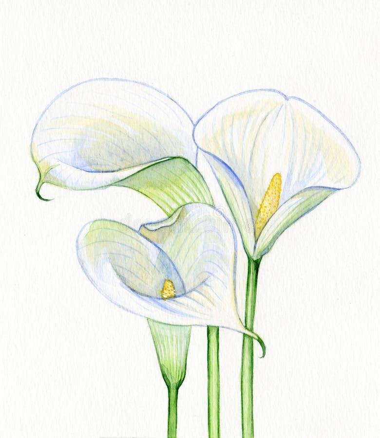 Akwareli kalii biali kwiaty ilustracji