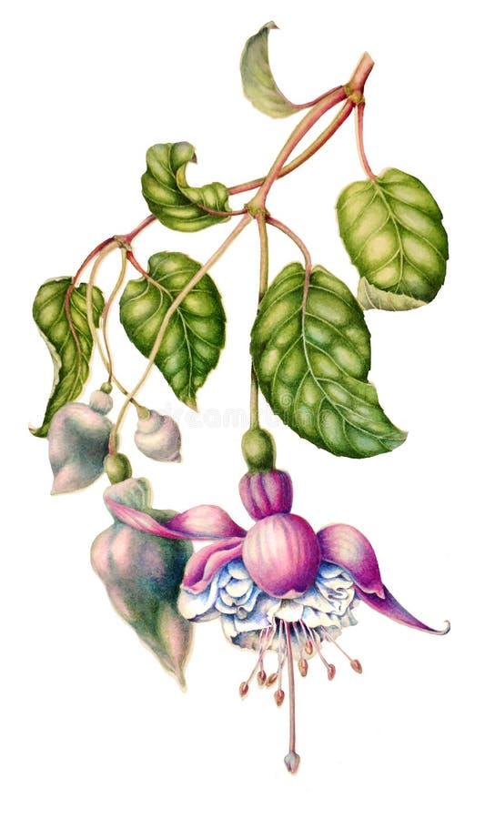 Akwareli kwiecista botaniczna ilustracja, zieleń opuszcza, dzika ogrodowych menchii fuksja kwitnie, odizolowywał na białym tle, ilustracji