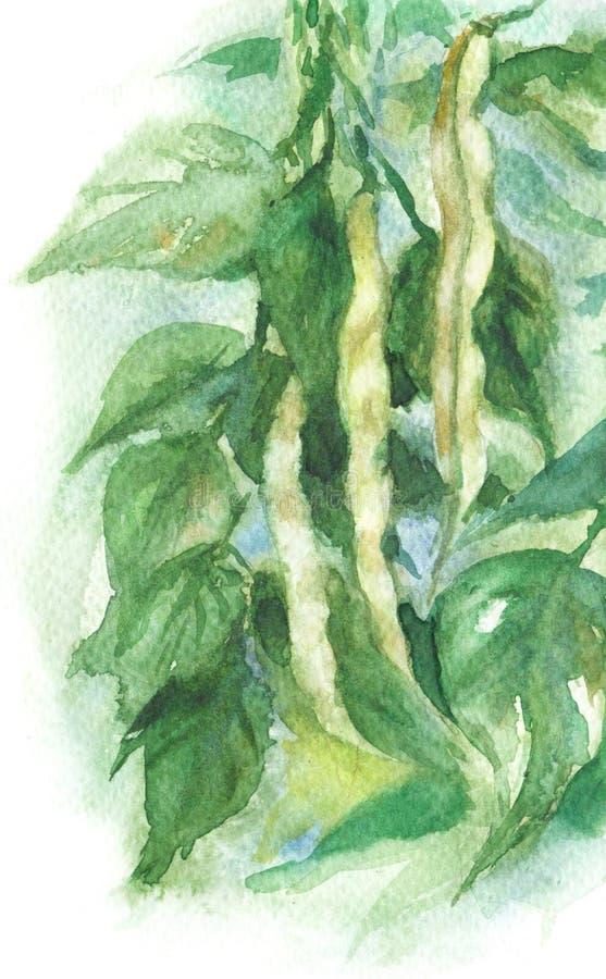 Akwareli Legumes roślina royalty ilustracja