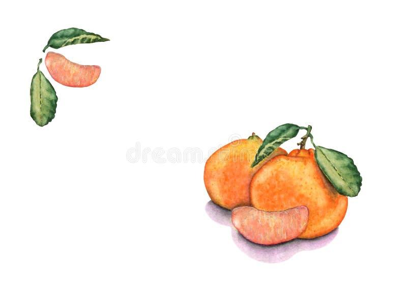 Akwareli mandarynki ręki rysować owoc na białym tle ilustracji