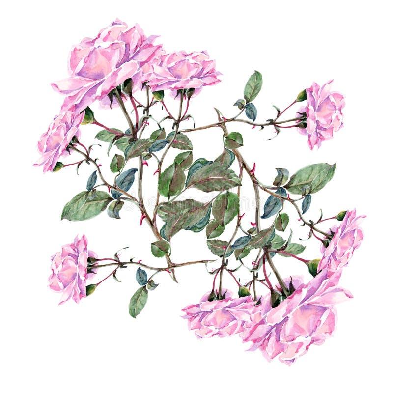 Akwareli menchii róża Kwitnie skład royalty ilustracja