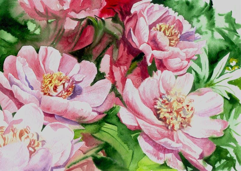 Akwareli peoni różowi kwiaty ilustracji