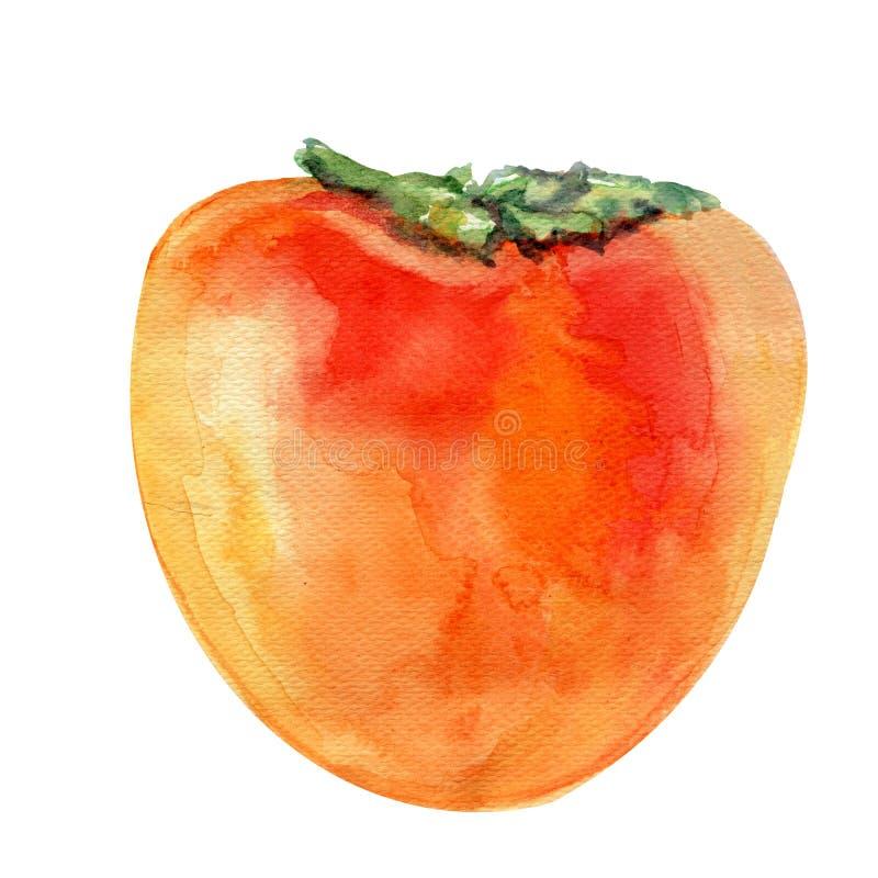 Akwareli Persimmon ilustracja odizolowywająca na białym tle, ręka rysujący nakreślenie, rocznika tropikalny organicznie natura royalty ilustracja