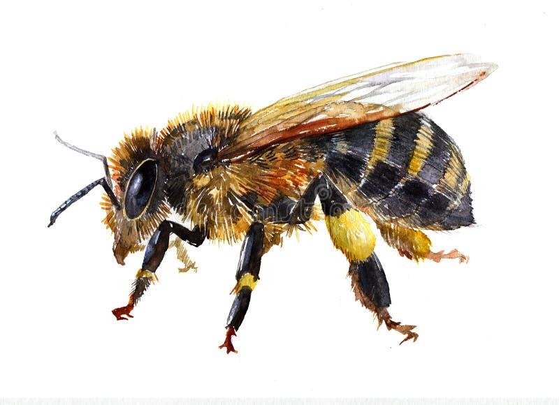 Akwareli pszczoły insekta pojedynczy zwierzę odizolowywający ilustracji