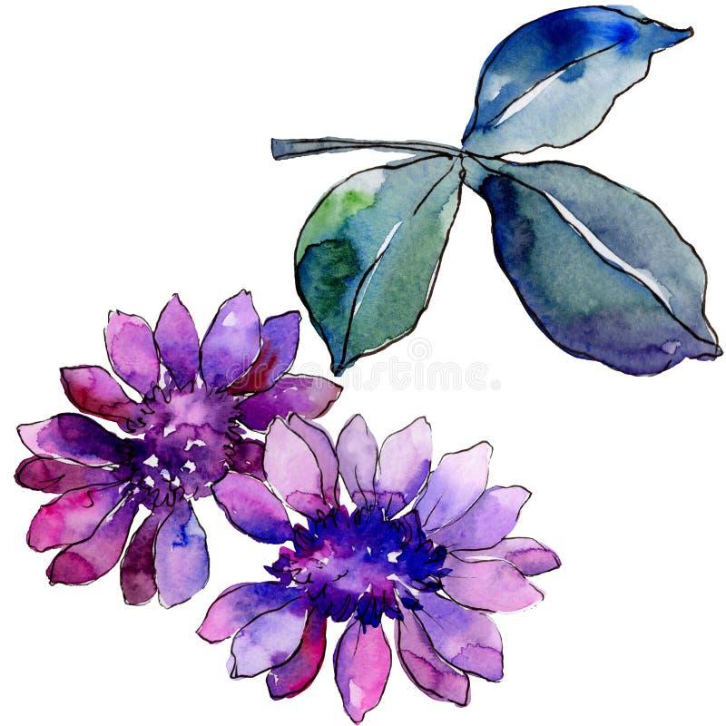 Akwareli purpurowa afrykańska stokrotka Kwiecisty botaniczny kwiat Odosobniony ilustracyjny element ilustracji