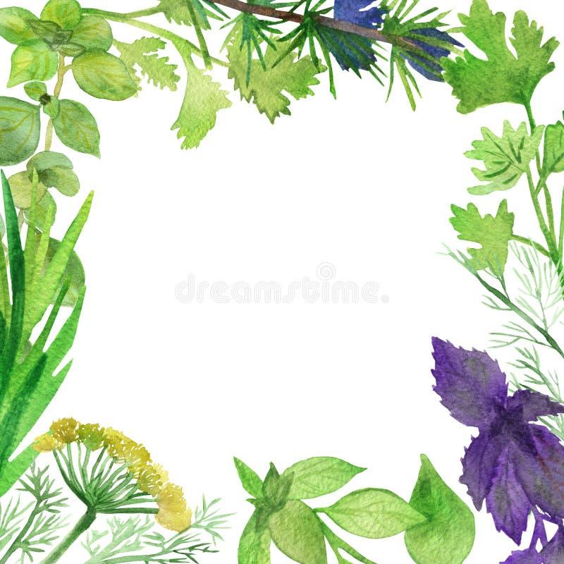 Akwareli rama korzenne rośliny Zieleni condiments odizolowywający na białym tle Korzenni ziele: Basil, kolender, rozmaryny, pietr ilustracja wektor