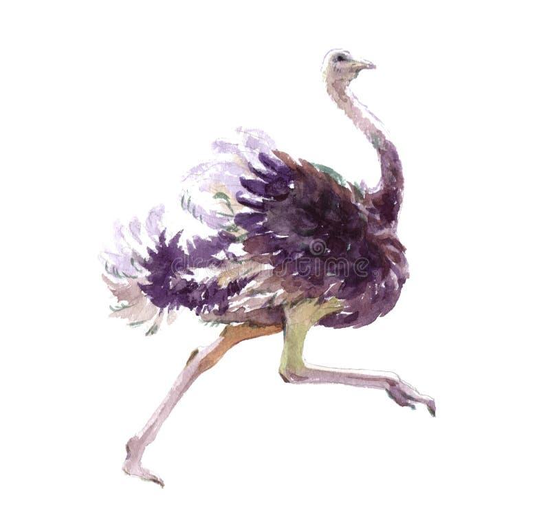 Akwareli realistyczny strusi zwierzę odizolowywający royalty ilustracja