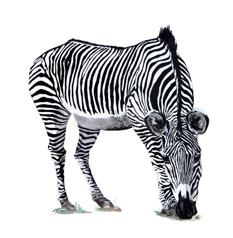 akwareli rysunkowa zebra ilustracja wektor