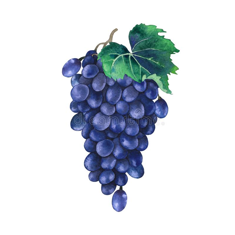 Akwareli wiązka błękitni winogrona dekorował z liśćmi obraz royalty free
