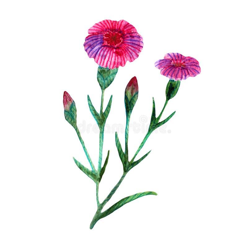 Akwareli wildflowers Menchii łąki goździki ilustracja wektor
