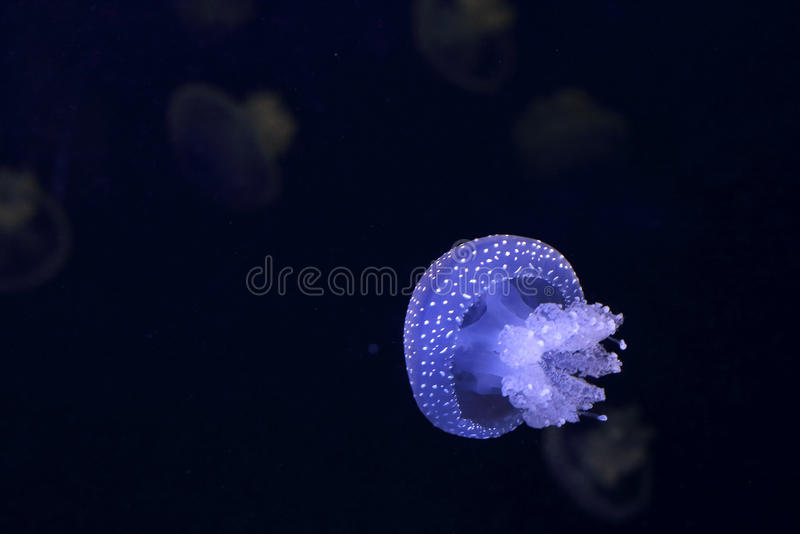 Akwarium błękita jellyfish zdjęcie royalty free