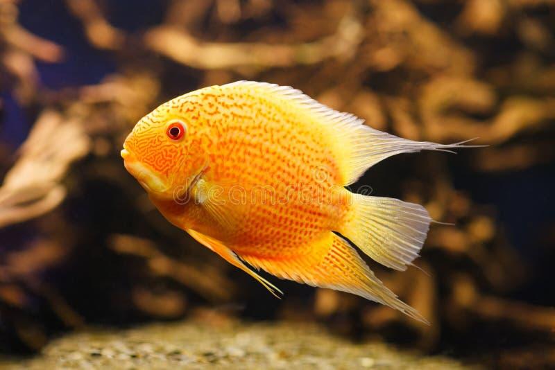 Akwarium Cichlasoma rybi severum w nadwodnych roślinach fotografia royalty free
