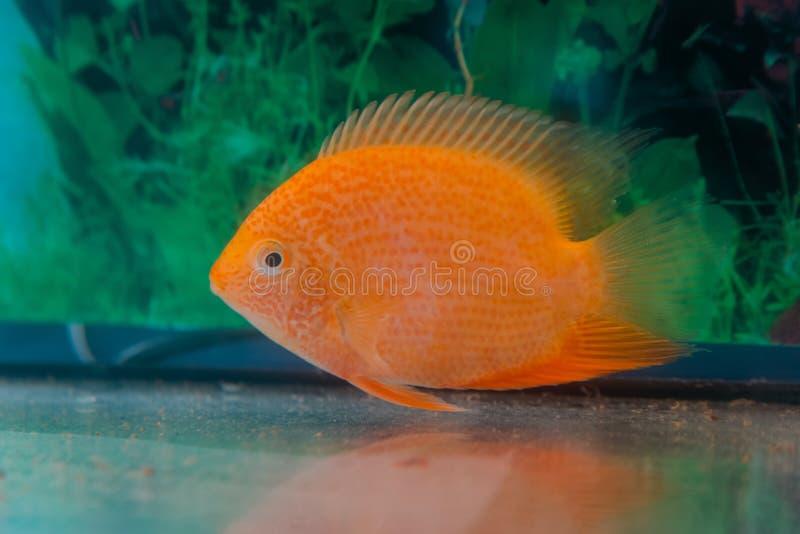 Akwarium Cichlasoma rybi severum w tle nadwodne rośliny zdjęcia stock