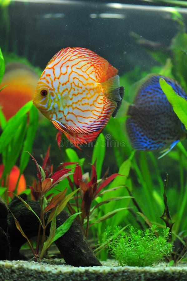 akwarium dyska ryba lamparta biel zdjęcie royalty free