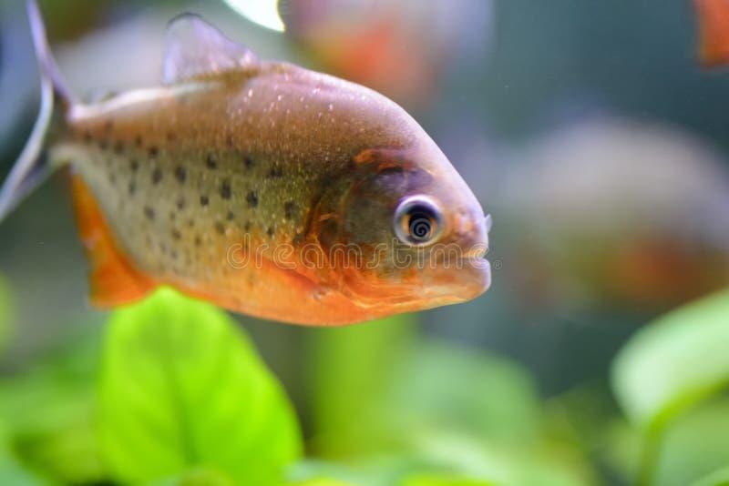 Akwarium rybi piranha, zawierający w sztucznym stawie obraz stock