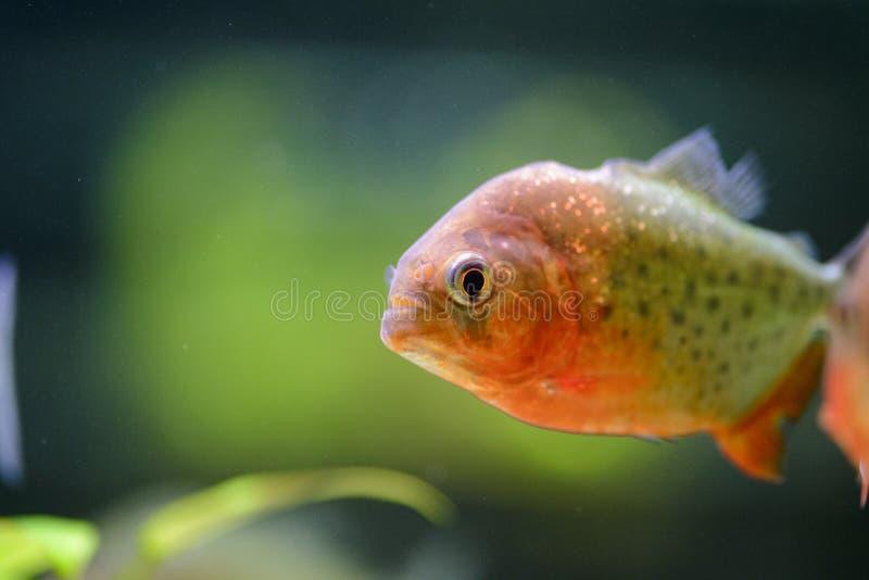 Akwarium rybi piranha, zawierający w sztucznym stawie fotografia stock