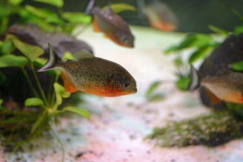Akwarium rybi piranha, zawierający w sztucznym stawie obraz royalty free