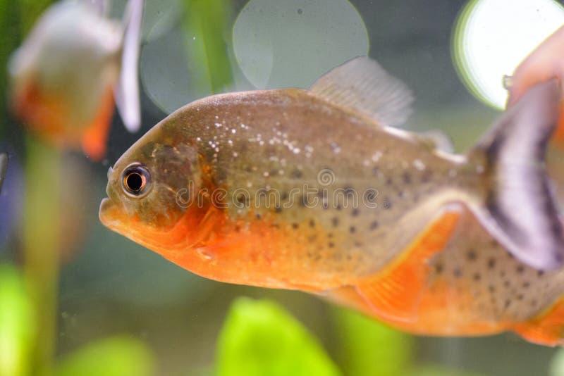 Akwarium rybi piranha, zawierający w sztucznym stawie zdjęcie royalty free