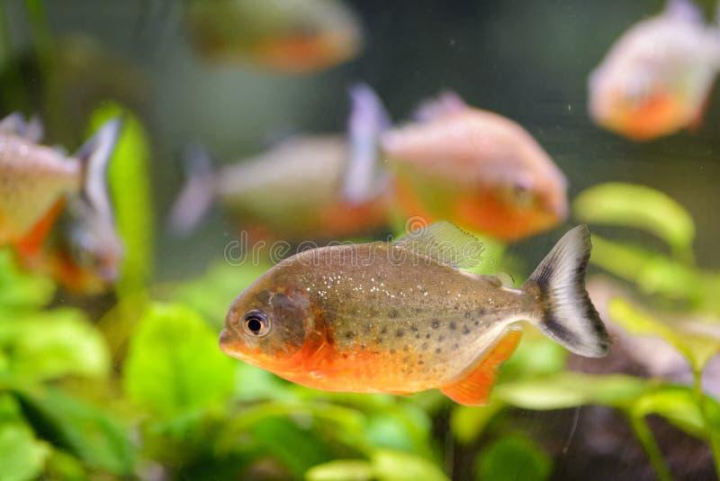 Akwarium rybi piranha, zawierający w sztucznym stawie obrazy stock