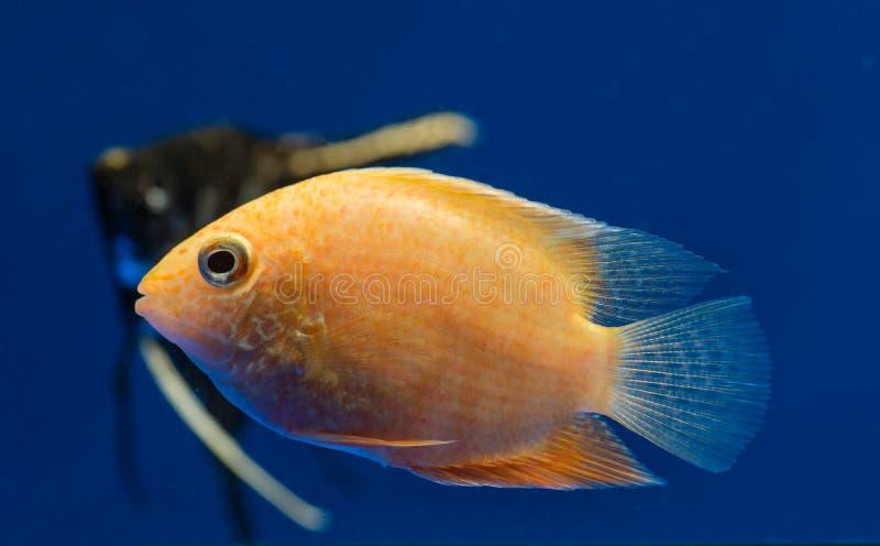 Akwarium rybi severum fotografia royalty free