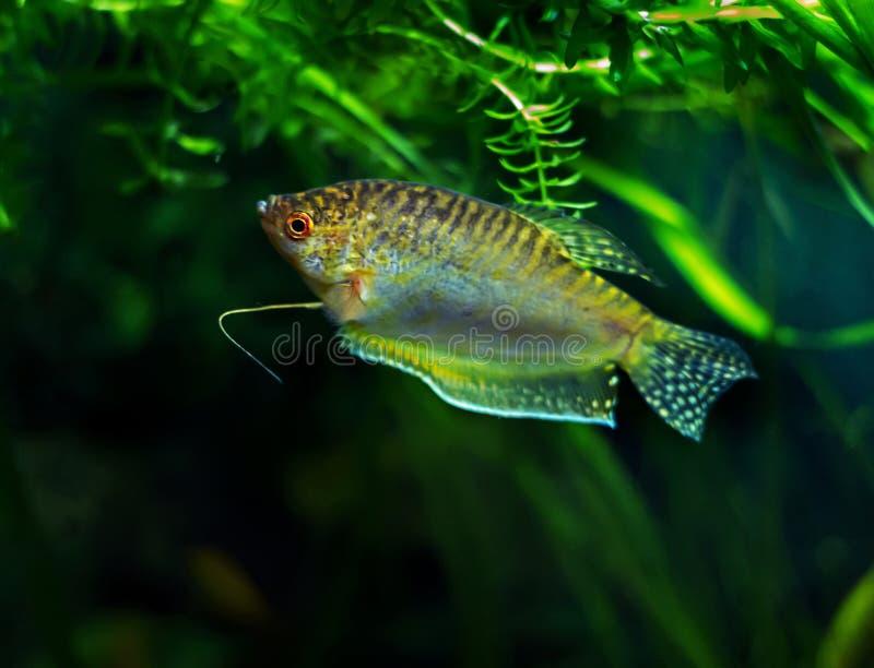 Akwarium Rybi Złoty gourami fotografia stock