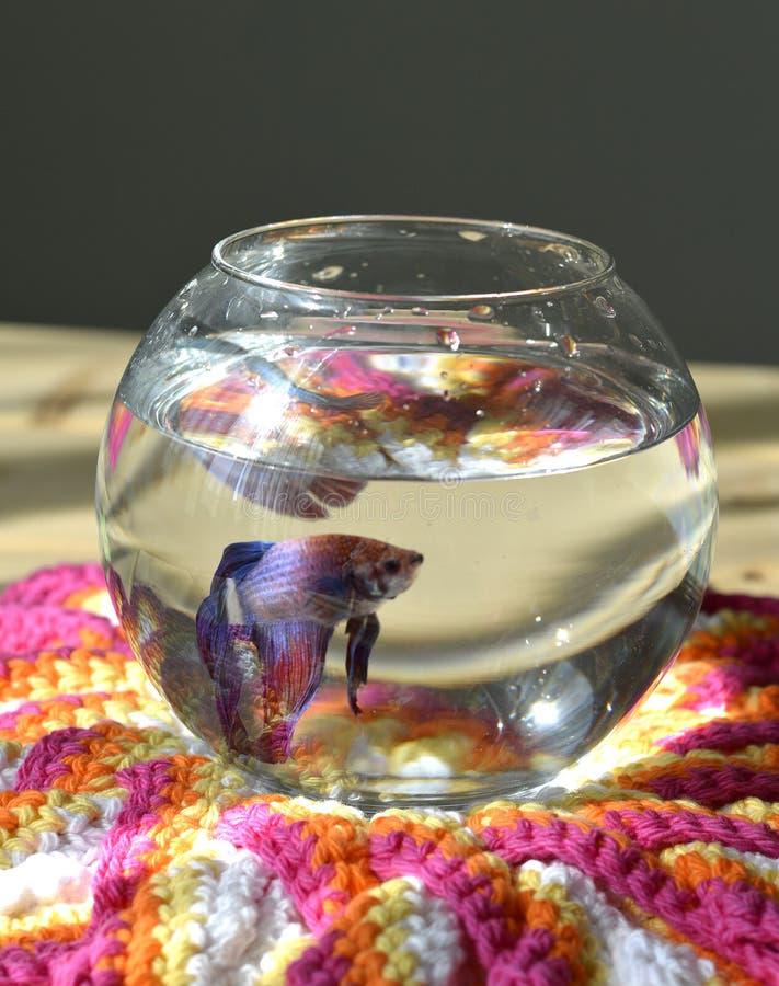 Akwarium z betta ryba obrazy stock