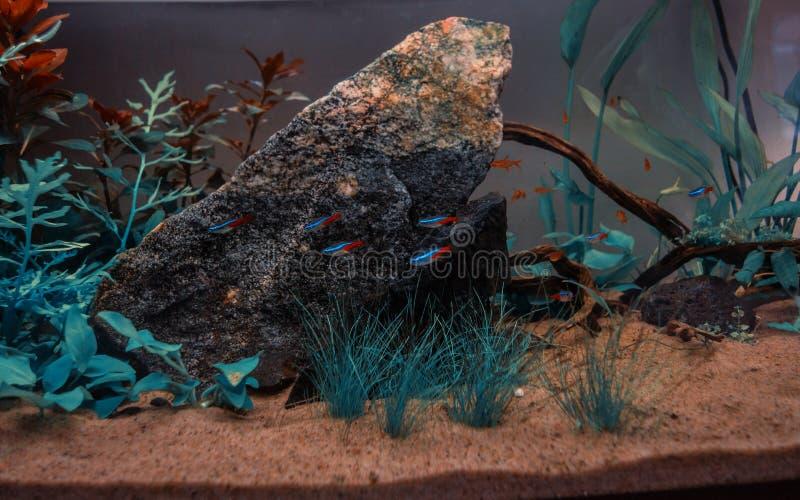 Akwarium z neonowy tetra zdjęcie stock