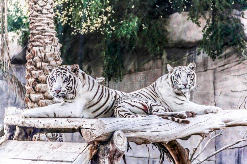 Al Ain, Zjednoczone Emiraty Arabskie Pięknego dzikiego zwierzęcia Bengalia biały tygrys bielił tygrysa, w Al Ain zoo, safari  obrazy royalty free