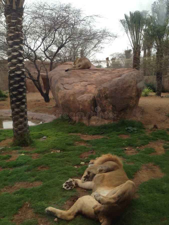 Al Ain zoo fotografering för bildbyråer