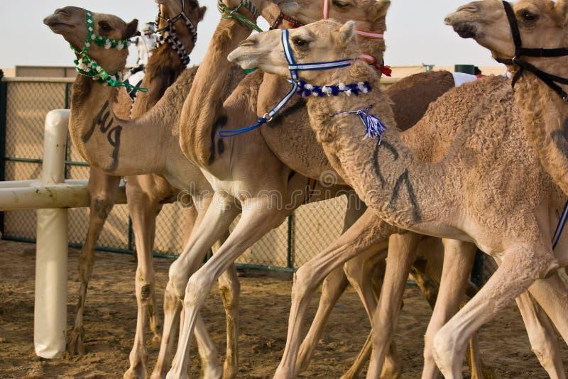 Al Marmoum Camel Racetrack, Dubai stock images
