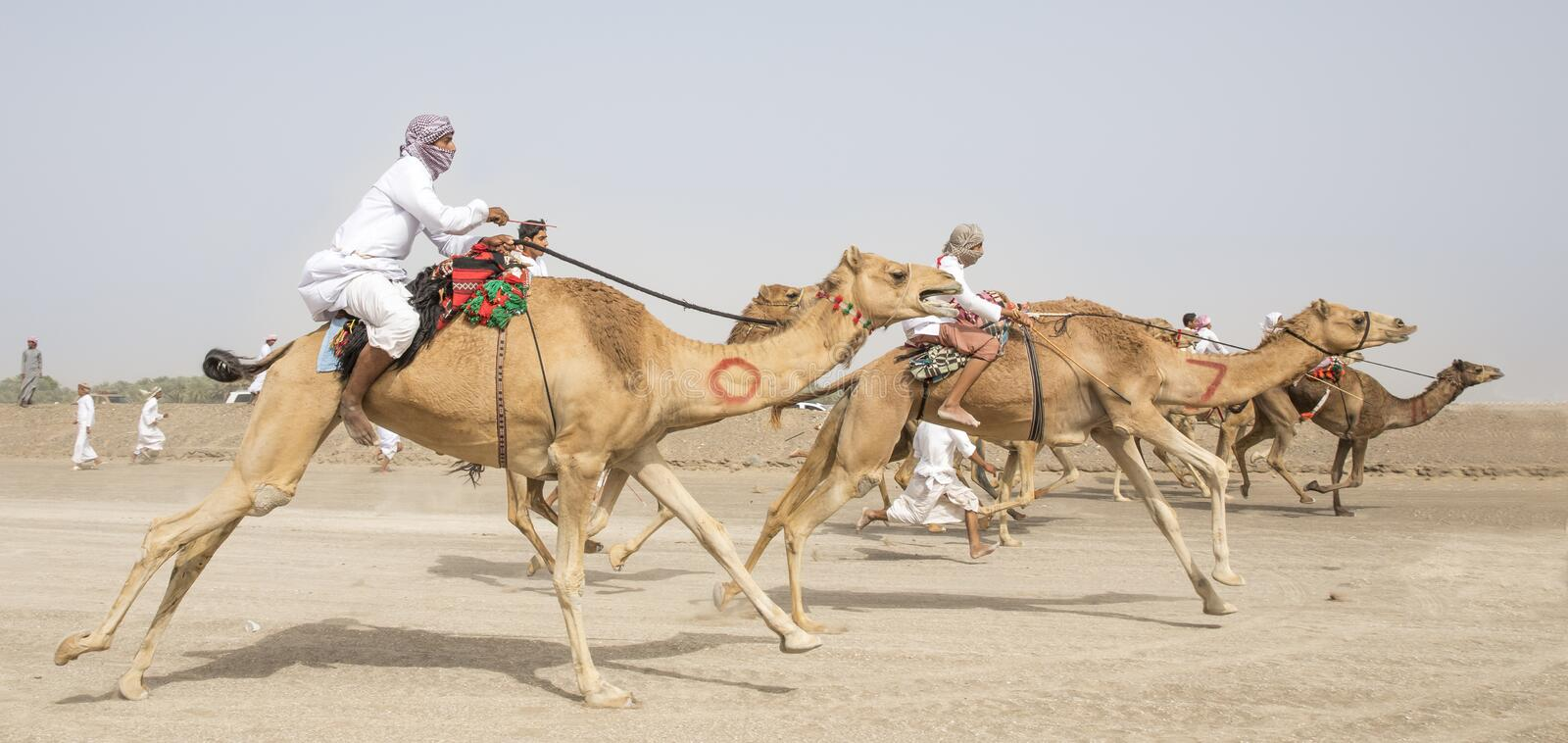 Men riding camels in a countryside royalty free stock images
