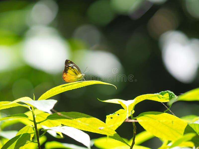 Ala amarilla y marrón del modelo con la mariposa de la antena foto de archivo