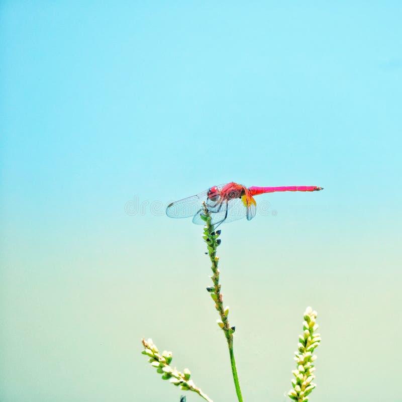 Ala colorida de la naturaleza del insecto de la libélula imagen de archivo