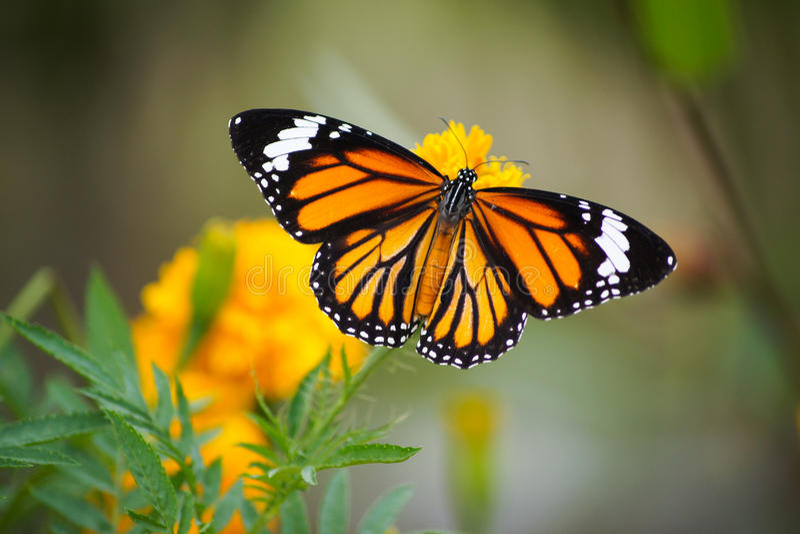 Ala de la mariposa hermosa foto de archivo libre de regalías