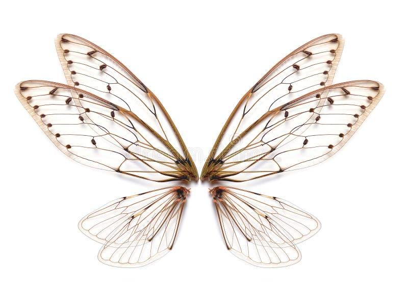 Ala della cicala dell'insetto isolata su fondo bianco fotografia stock