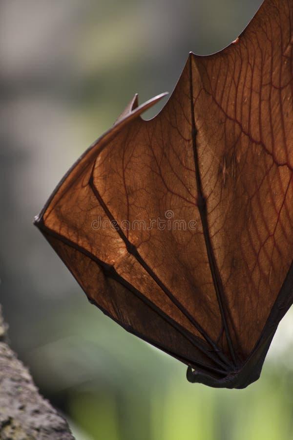 Ala della volpe di volo nello zoo di Singapore immagine stock