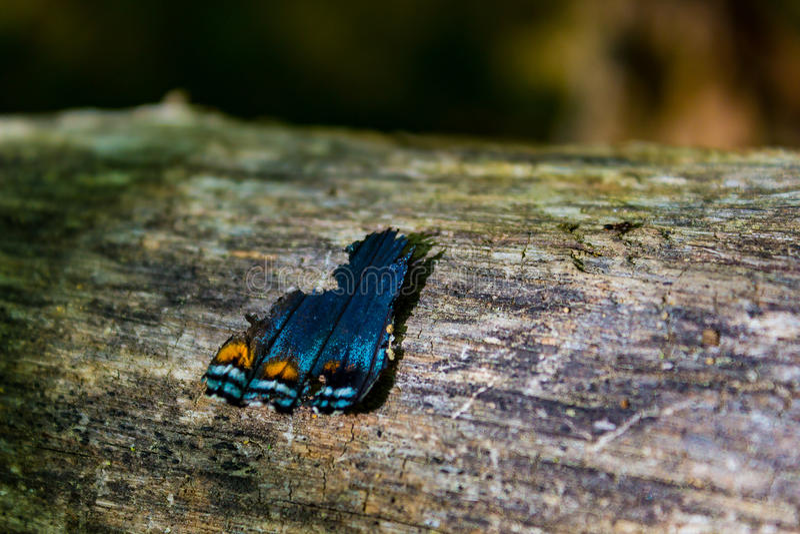 Ala quebrada de la mariposa que se sienta en un registro foto de archivo libre de regalías