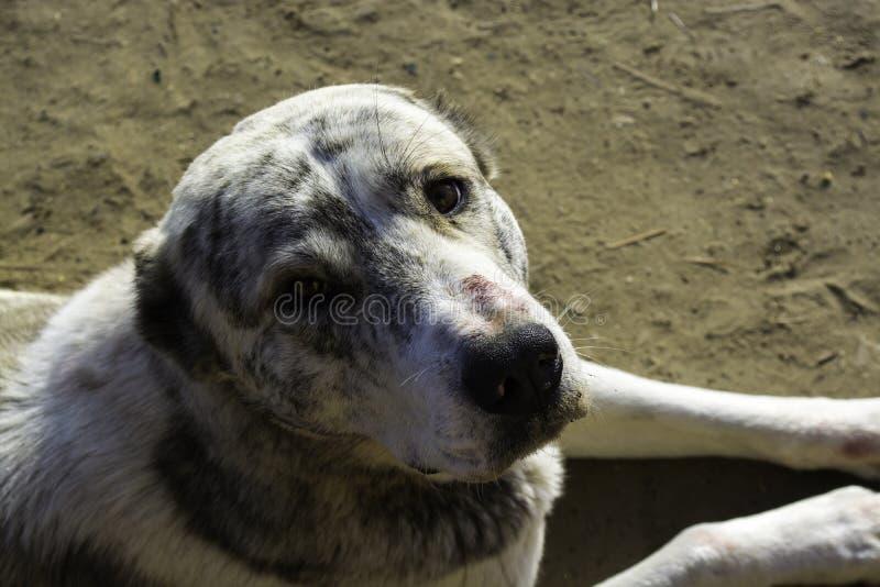 Alabai狗 狗是牧羊人 亲切的查找 免版税库存图片