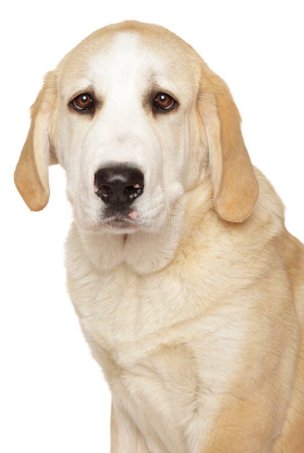 Alabai, κεντρικό ασιατικό σκυλί ποιμένων στοκ φωτογραφία με δικαίωμα ελεύθερης χρήσης
