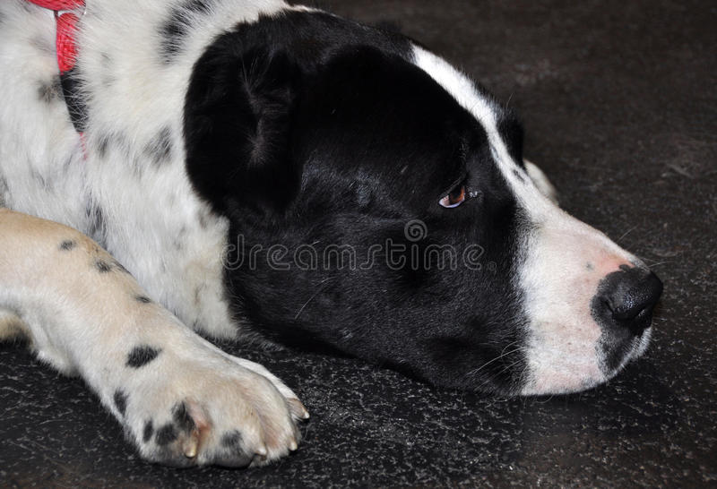 Download Alabai big dog sleeping stock image. Image of dream, care - 39513253
