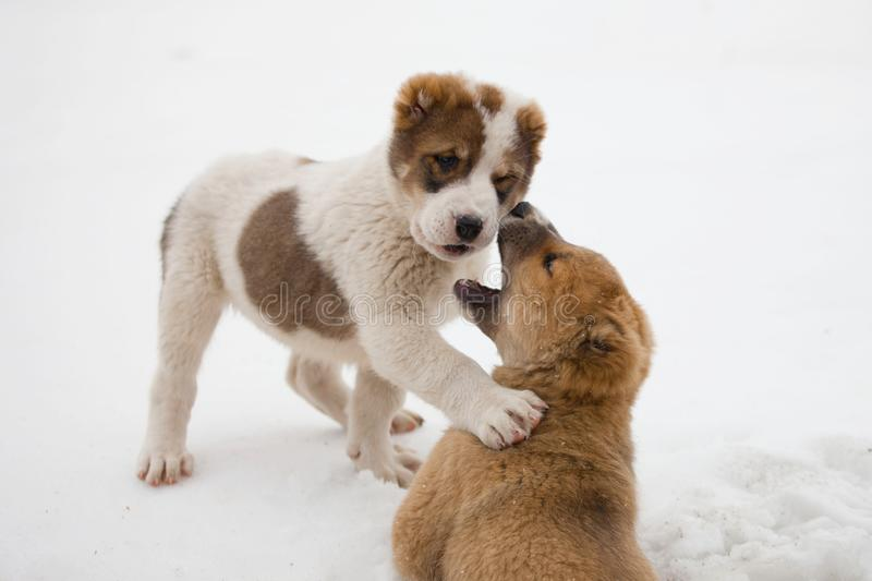 Alabai puppies play in the snow. Central Asian Shepherd Dog stock images