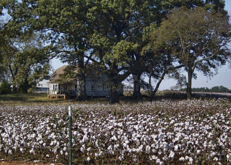 Alabama bomullsskördar - Gossypium arkivbild