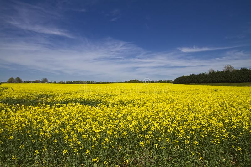 Alabama Farm Field Canola Crop. This is the beautiful yellow canola crop in Limestone County Alabama USA royalty free stock image
