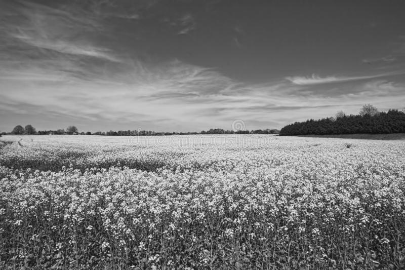 Alabama Farm Field Canola Crop in Black and White. This is the beautiful canola crop in Limestone County Alabama USA. I added black and white tones to the stock image