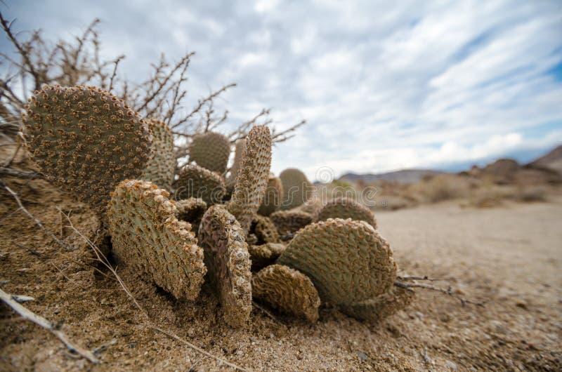 Alabama Hills Beavertail Prickly Pear Cactus stock photos