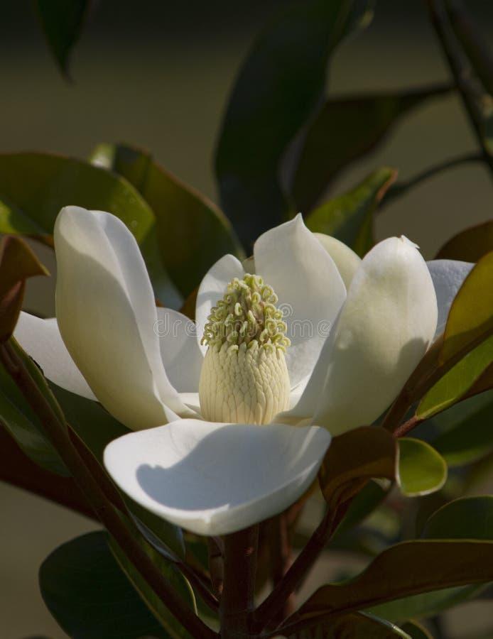 Alabama-Magnolie-Grandiflorablüte stockfotos