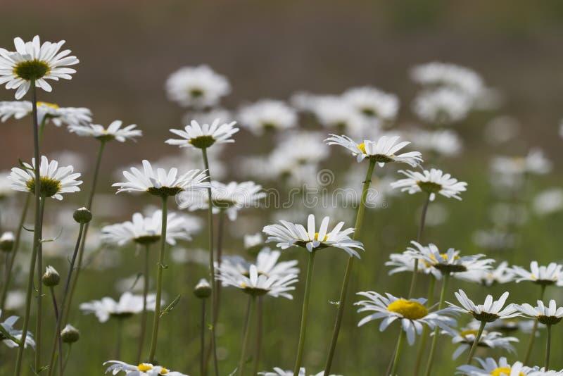 Alabama Oxeye Daisy Wildflower Field Stock Image