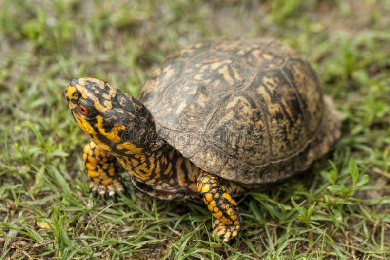 Alabama röd synad manlig asksköldpadda - Terrapene carolina royaltyfri fotografi